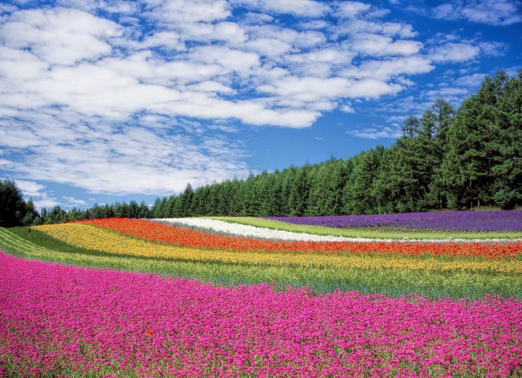 panorama di campi con righe colorate da fiori